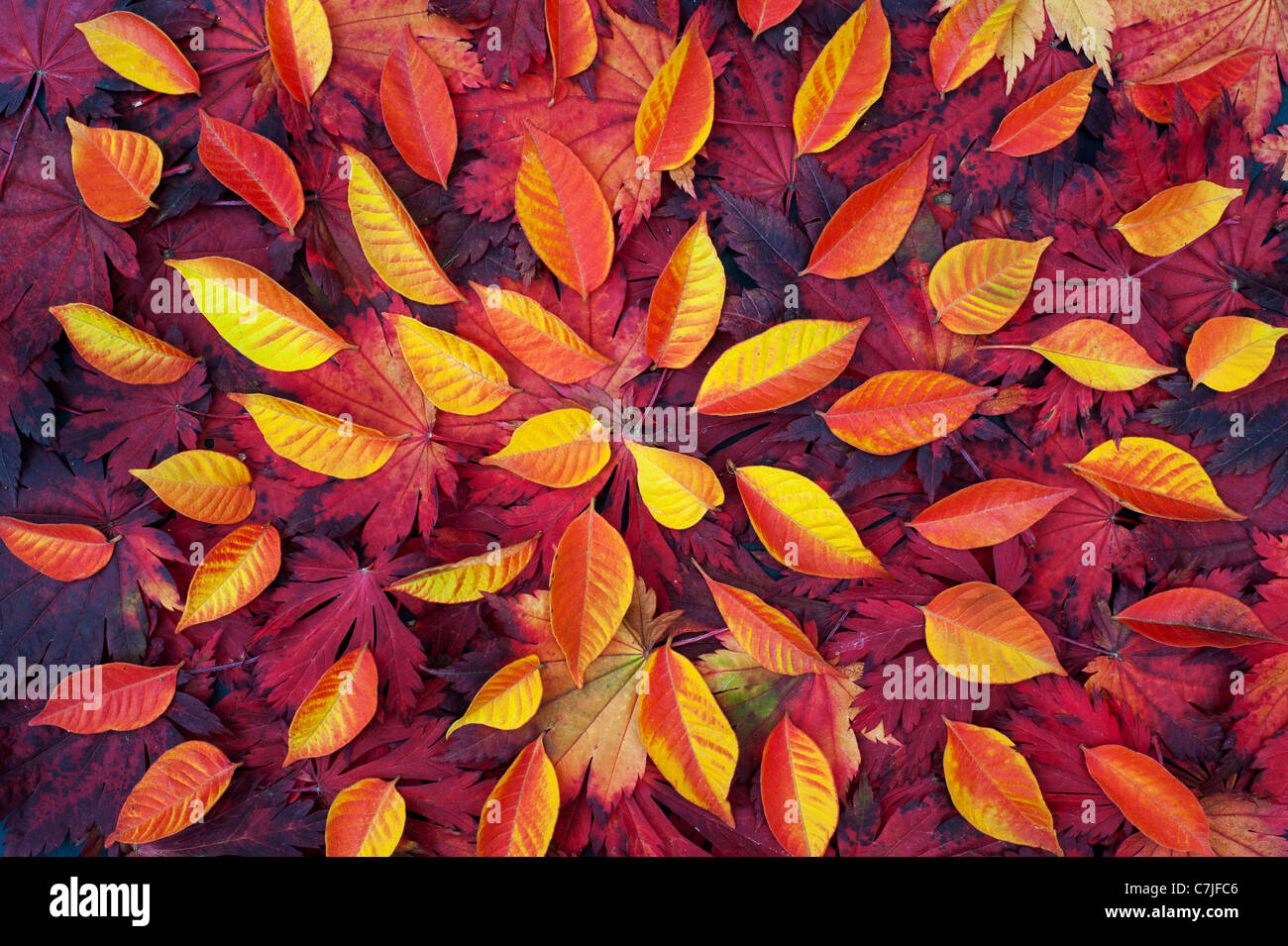 Autumn leaf pattern. Japanese Maple and various other leaves changing colour in autumn. Stock Photo