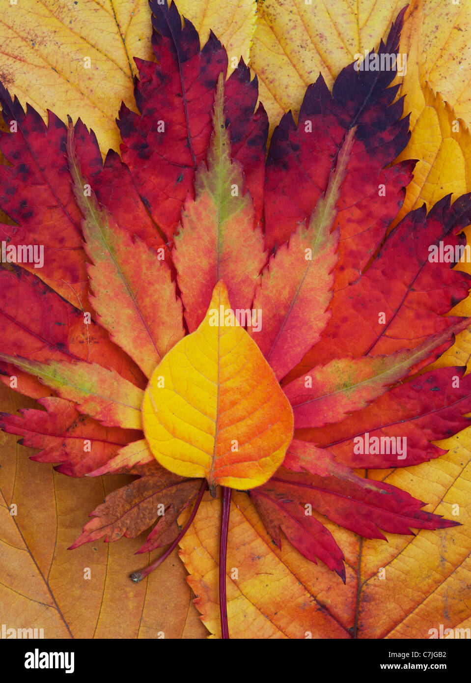 Acer and autumn leaf pattern. Japanese Maple and various other leaves changing colour in autumn. Stock Photo