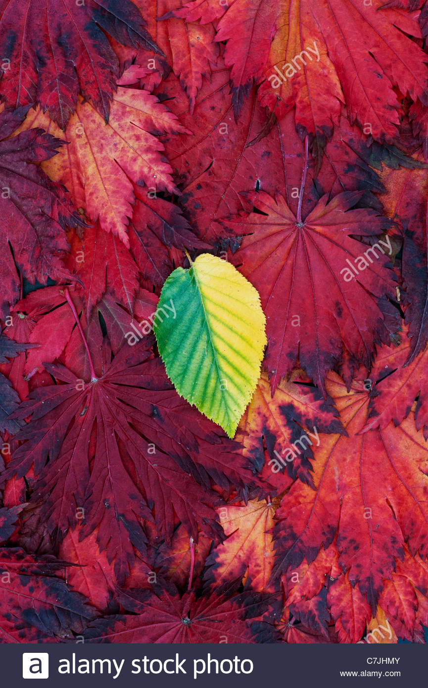 Autumn leaves. Japanese Maple and other single leaf changing colour. Red Yellow Green Autumn leaf pattern - Stock Image