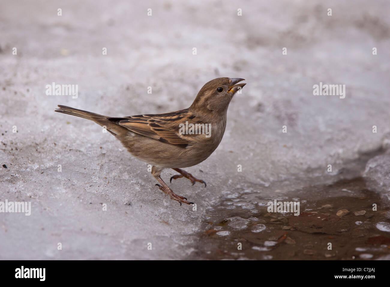 Passer domesticus SINGVöGEL aussen draussen ein einer einzel eis female haussperling haussperlinge ice natur - Stock Image