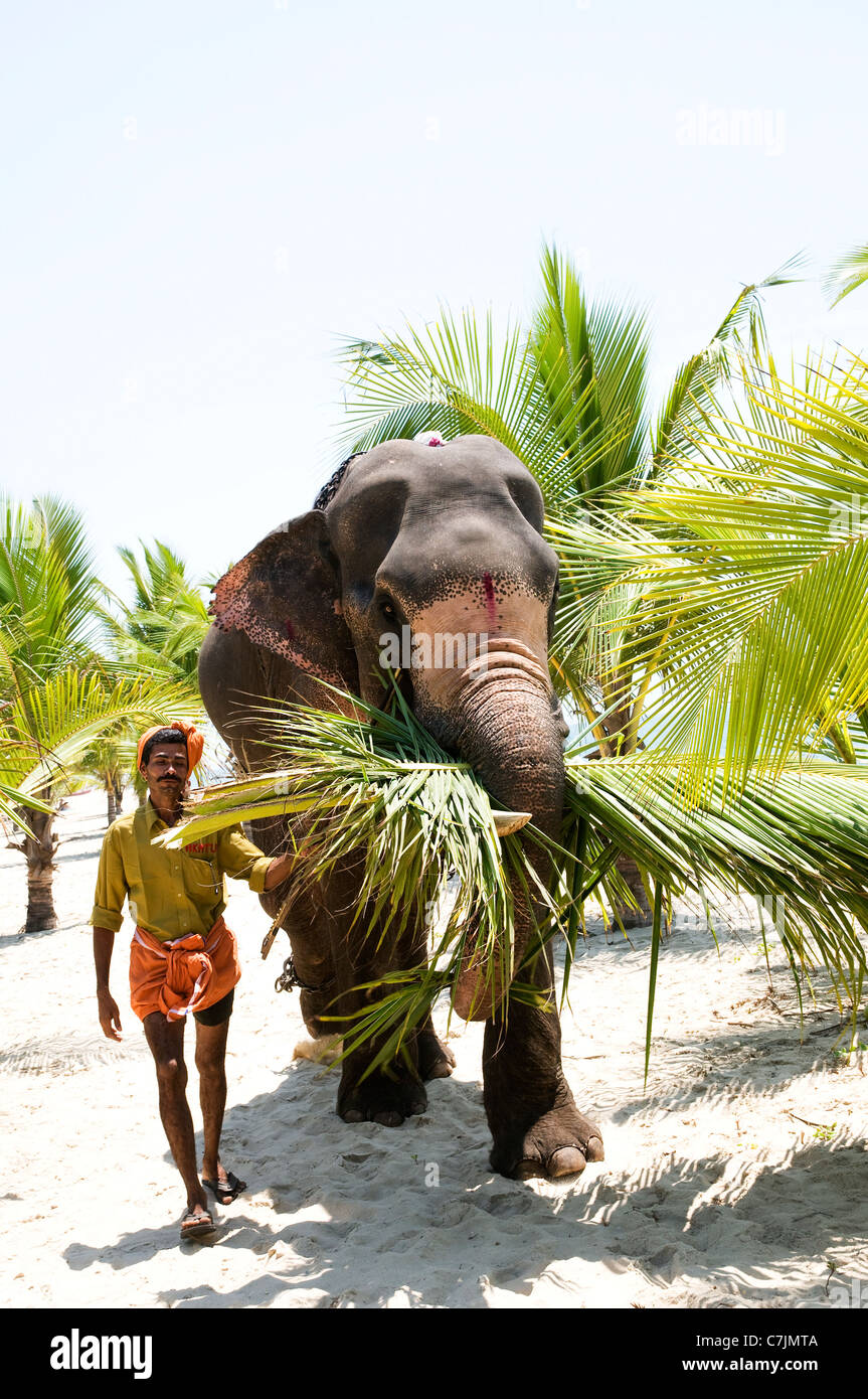 Elephant and  mahout  collecting the harvested palms leaves on Marari Beach, Kerala - Stock Image