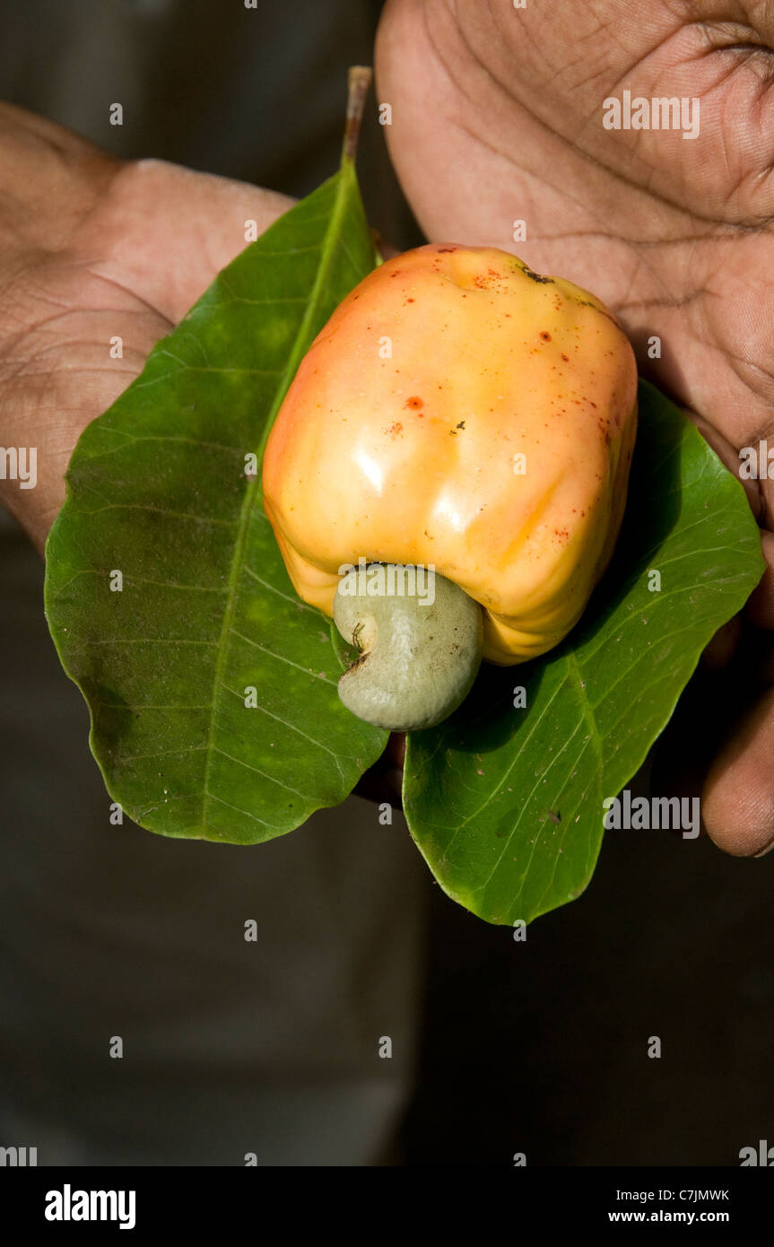 Man's hands displaying on a leaf a cashew nut attached to its cashew apple at Marari Beach, Mararikulam, Kerala, - Stock Image