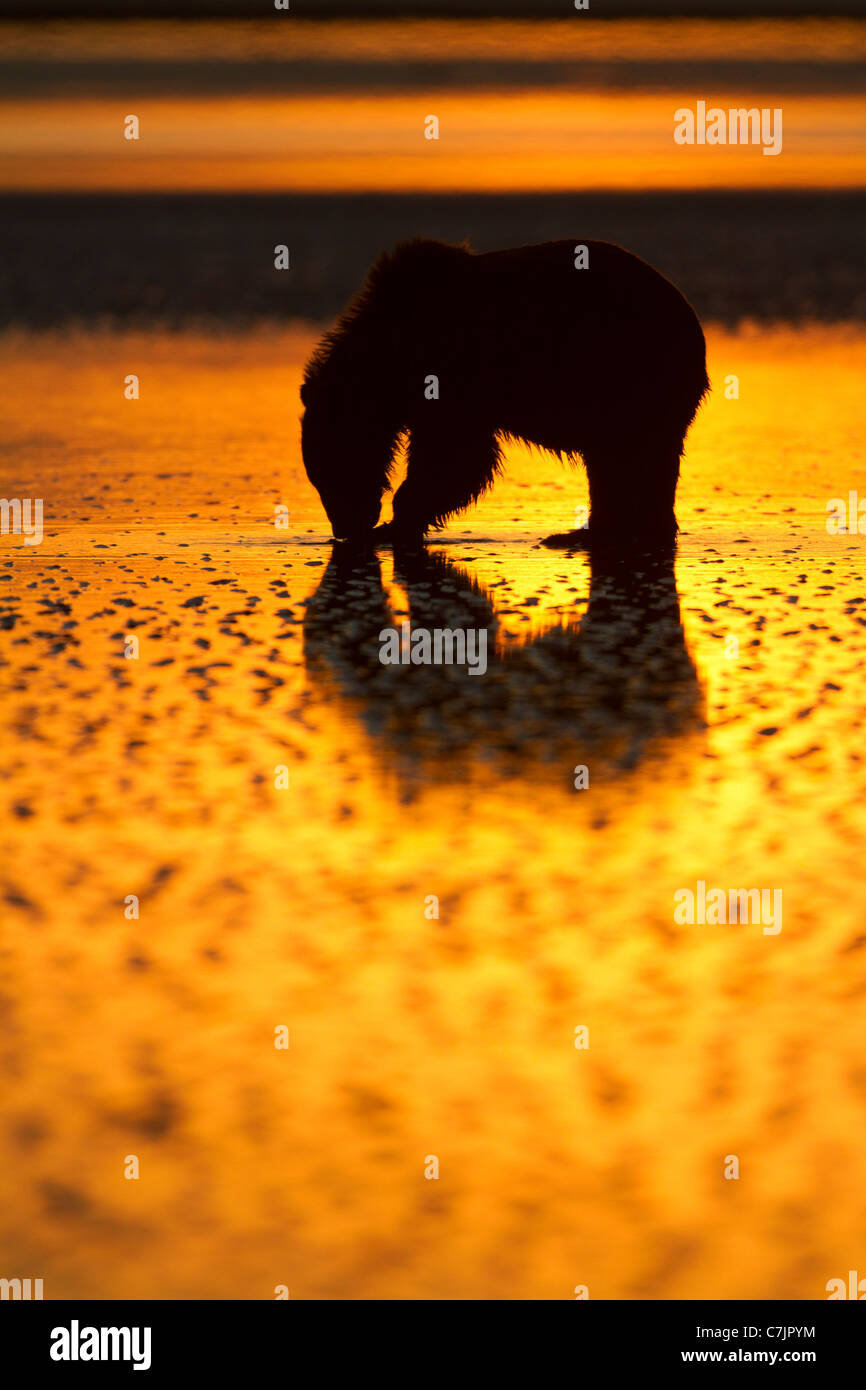 Brown / Grizzly Bear looking for clams at sunrise, Lake Clark National Park, Alaska. Stock Photo