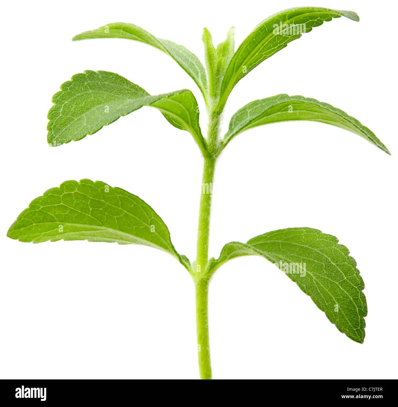 Full focus of Stevia rebaudiana, sweetleaf sugar substitute cutout - Stock Image
