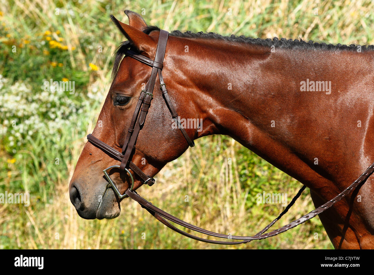 Head and neck of a shiny bay thoroughbred horse wearing bridle and with braided mane - Stock Image