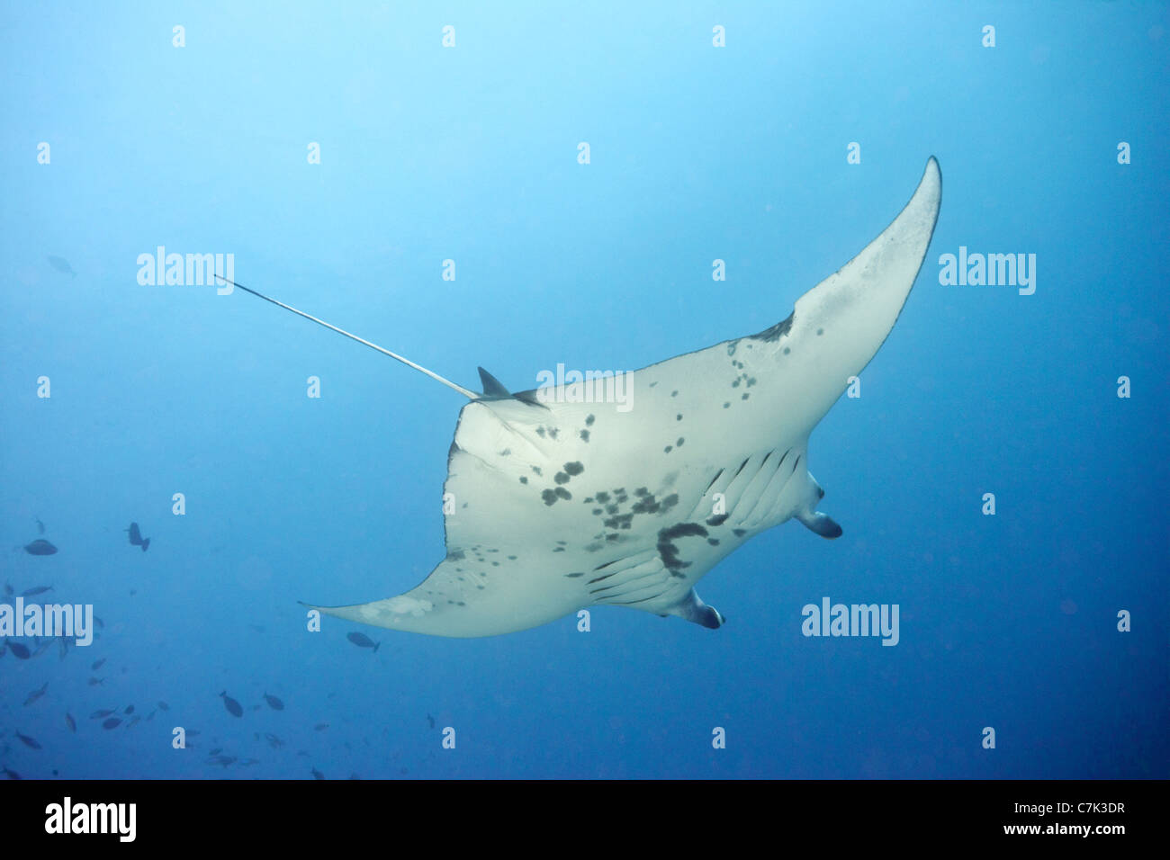 Giant manta ray swimming in ocean Stock Photo