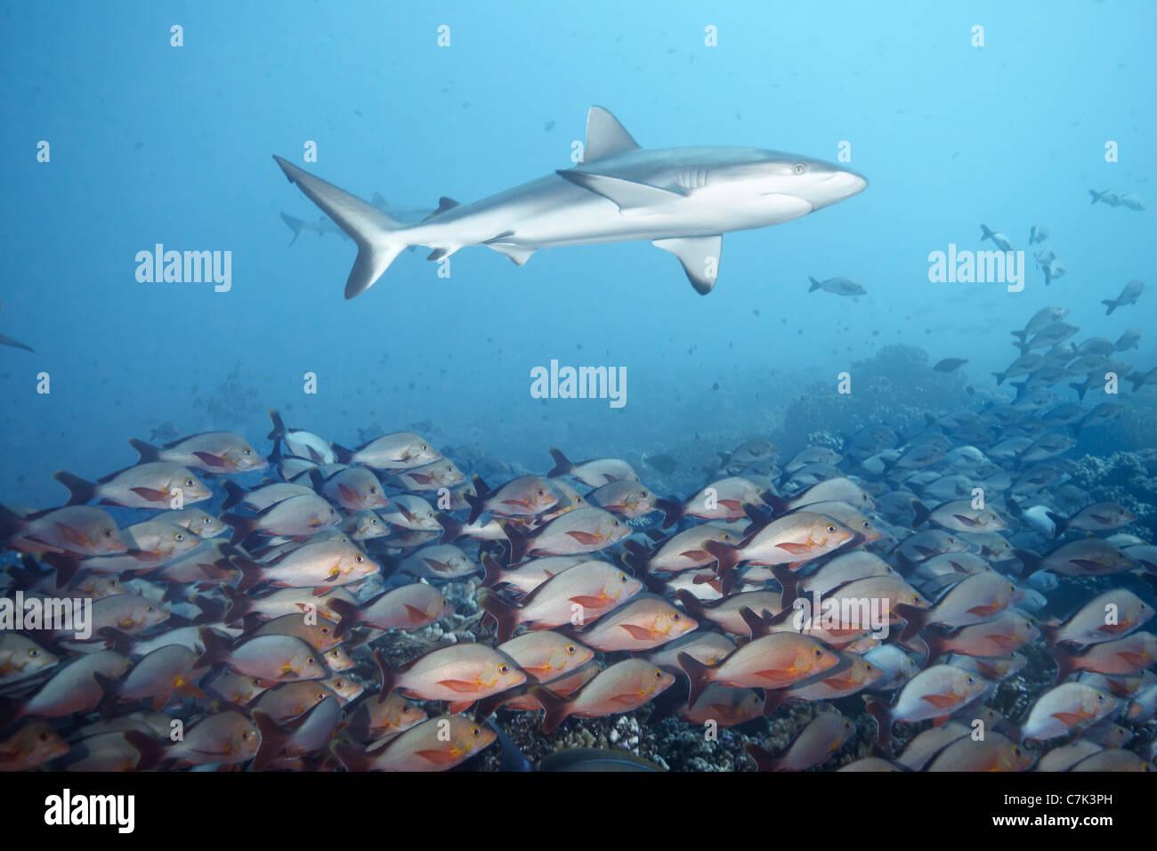 White tip reef shark over school of fish - Stock Image