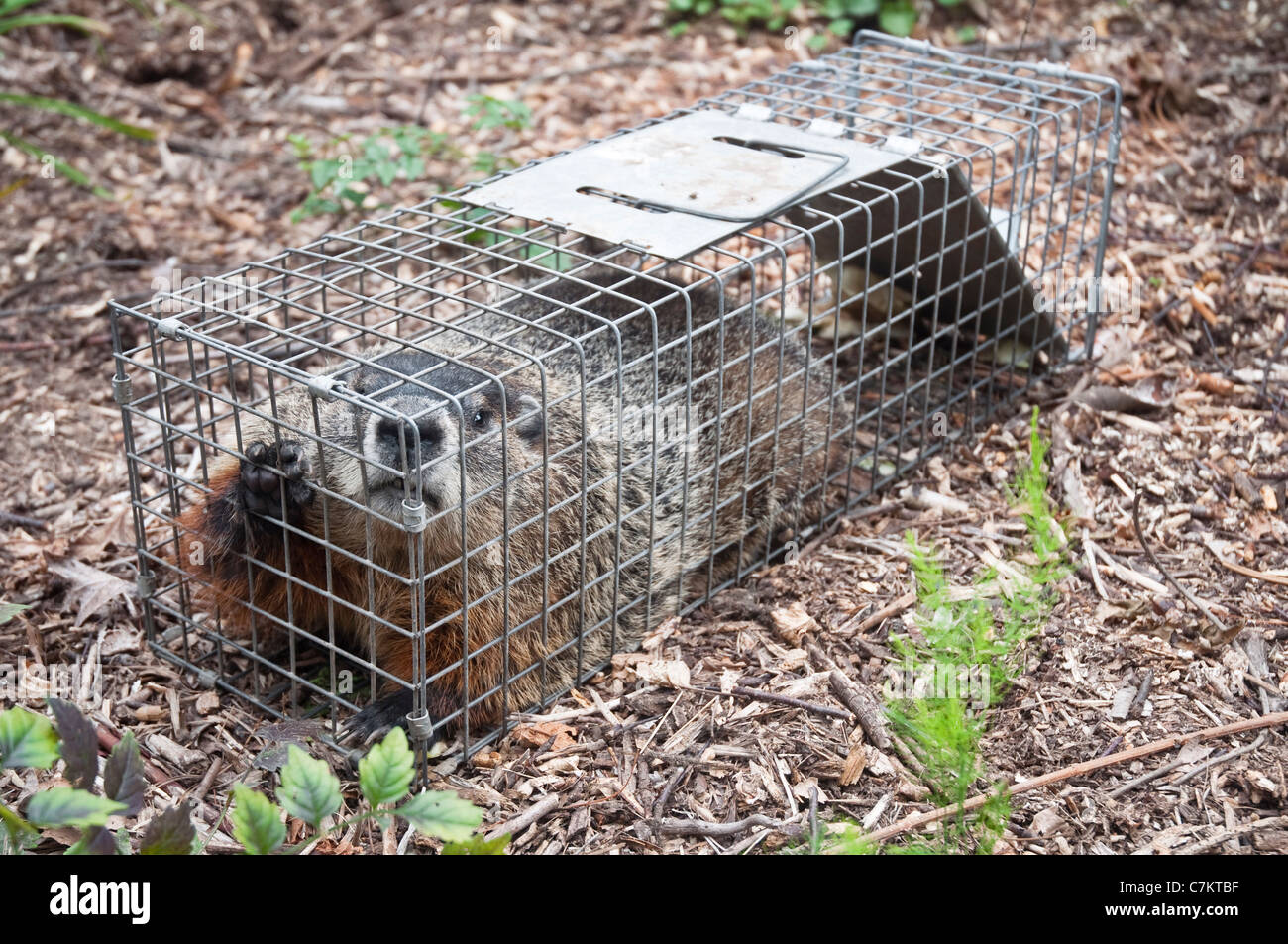 A large Groundhog or Woodchuck sitting in a humane / Have-A-Heart trap in a garden in New Jersey, USA. - Stock Image