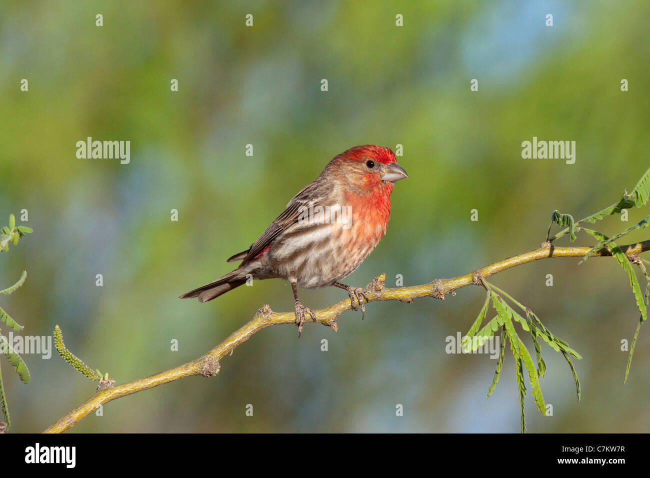 House Finch Carpodacus mexicanus Tucson, Arizona, United States 16 April Adult Male Fringillidae - Stock Image