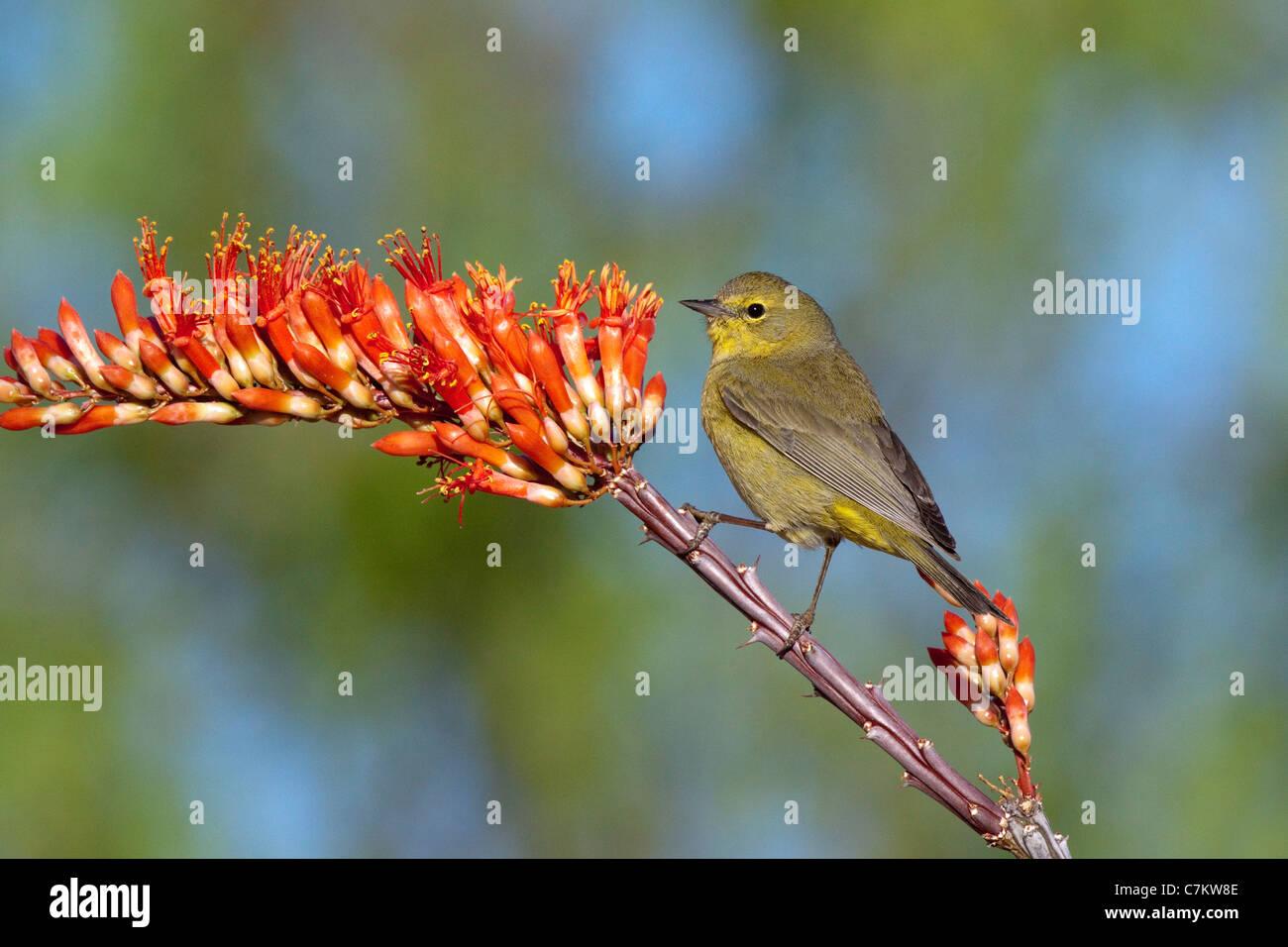 Orange-crowned Warbler Vermivora celata Amado, Santa Cruz County, Arizona, USA Adult on Ocotillo (Fonquieria splendens). - Stock Image