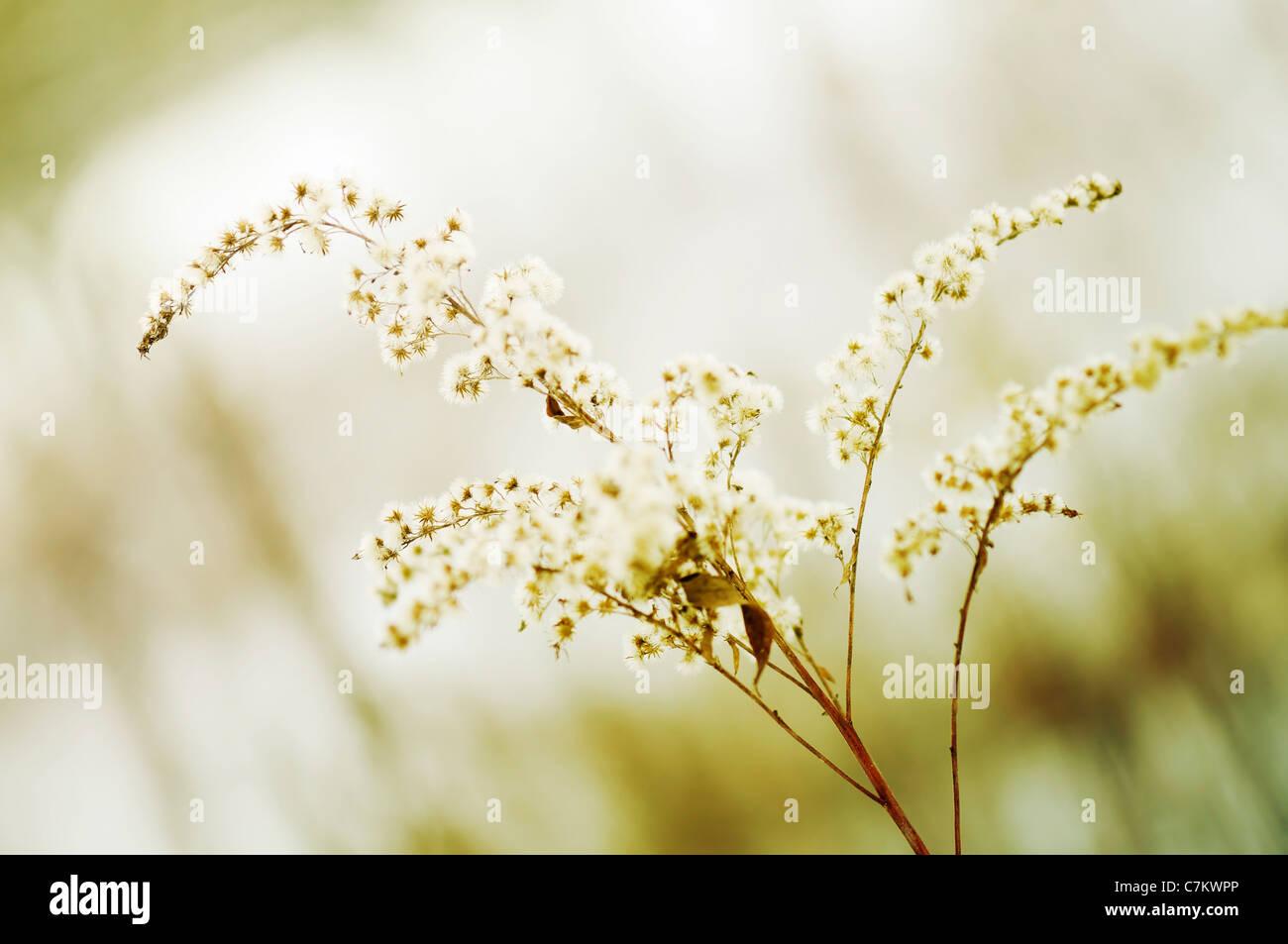 Wonderful dried flower - Stock Image