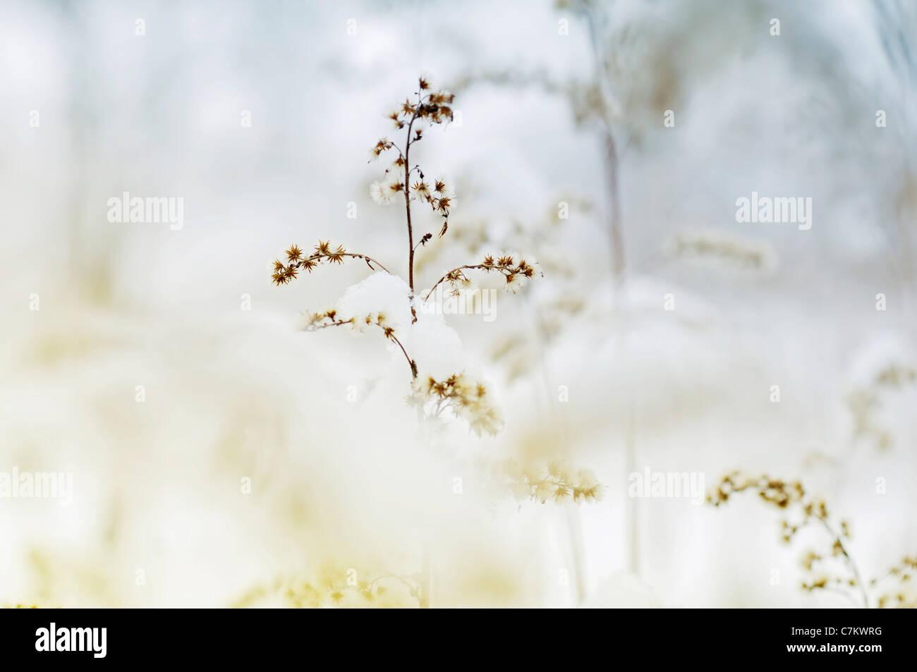 Wonderful dried flower in winter - Stock Image