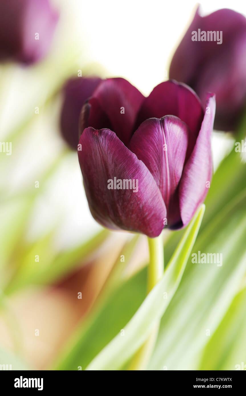 dark purple tulips stock photos dark purple tulips stock images