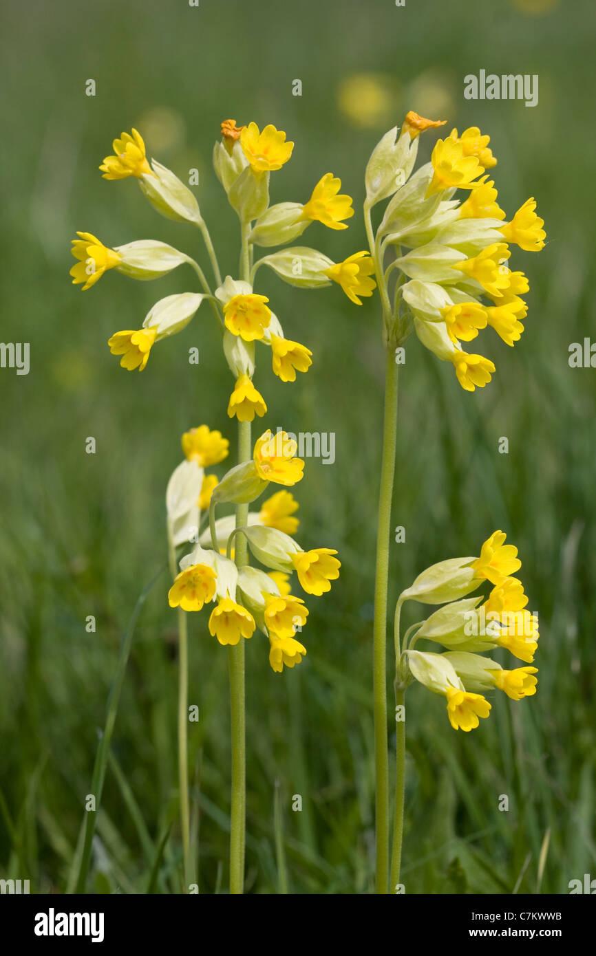 Cowslip ( Primula veris) Stock Photo
