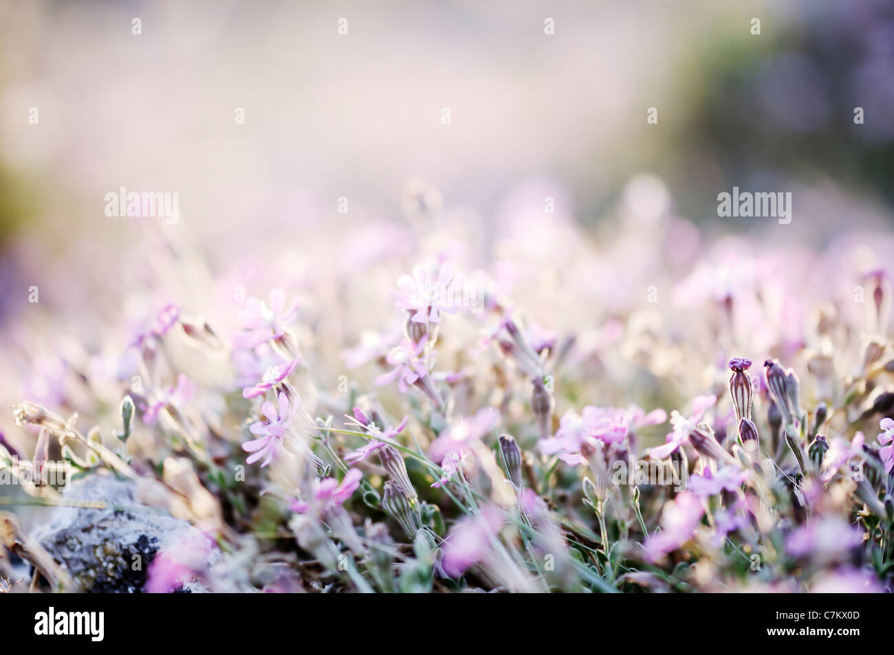 Amazing sunrise over a field of wild flowers - Stock Image