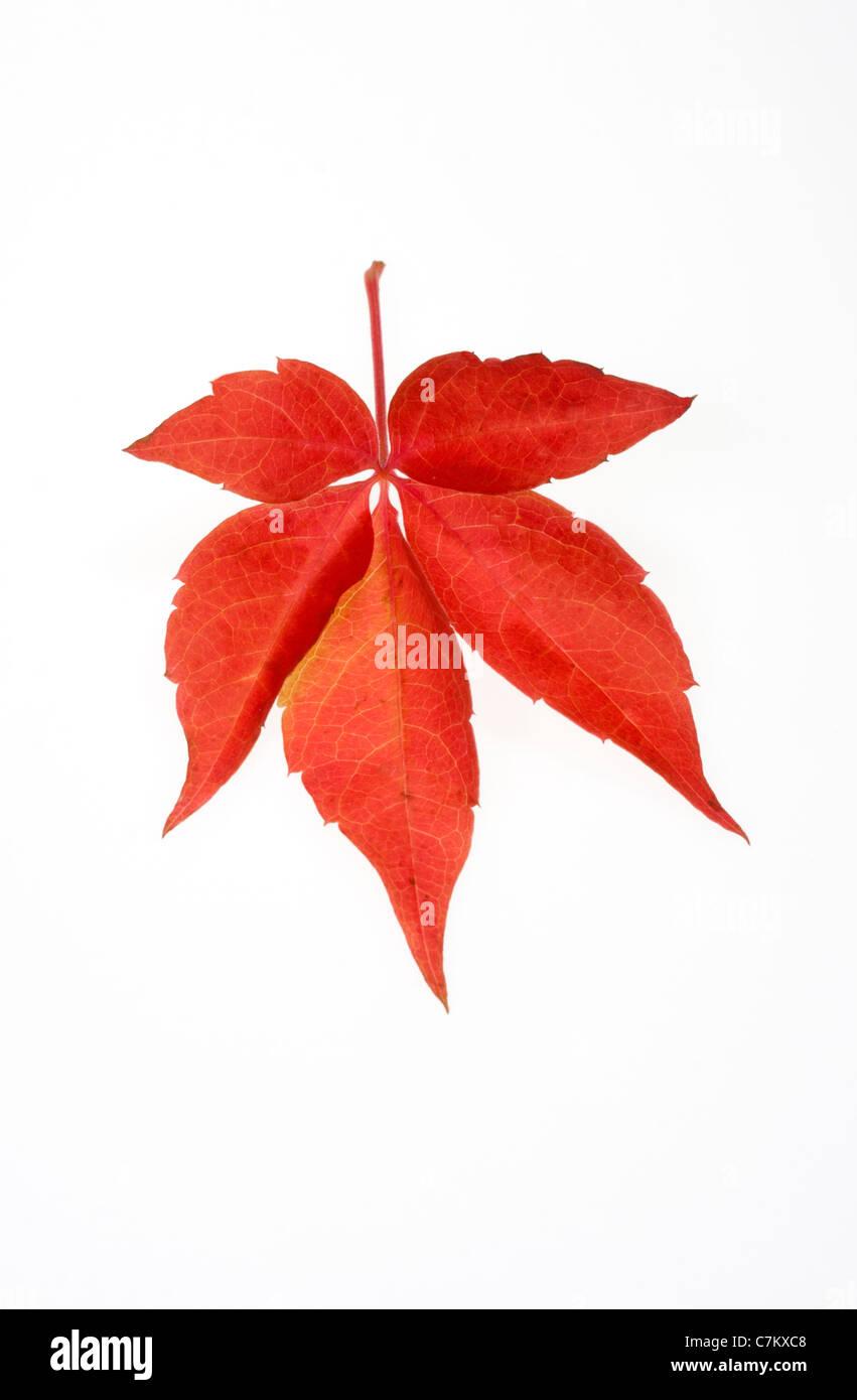 Maple leaf - Stock Image