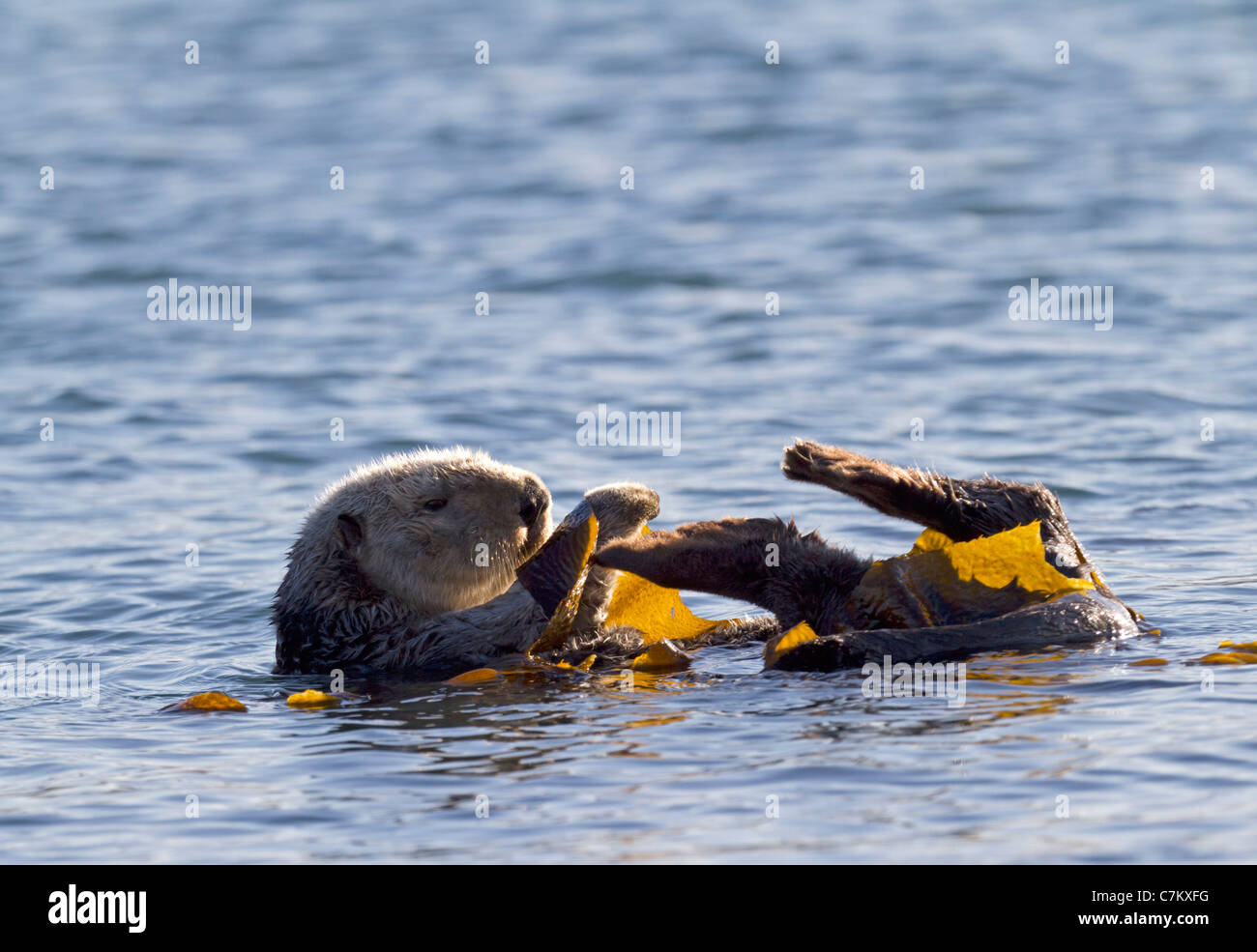 Sea otter with seaweed (Enhydra lutris) - Stock Image
