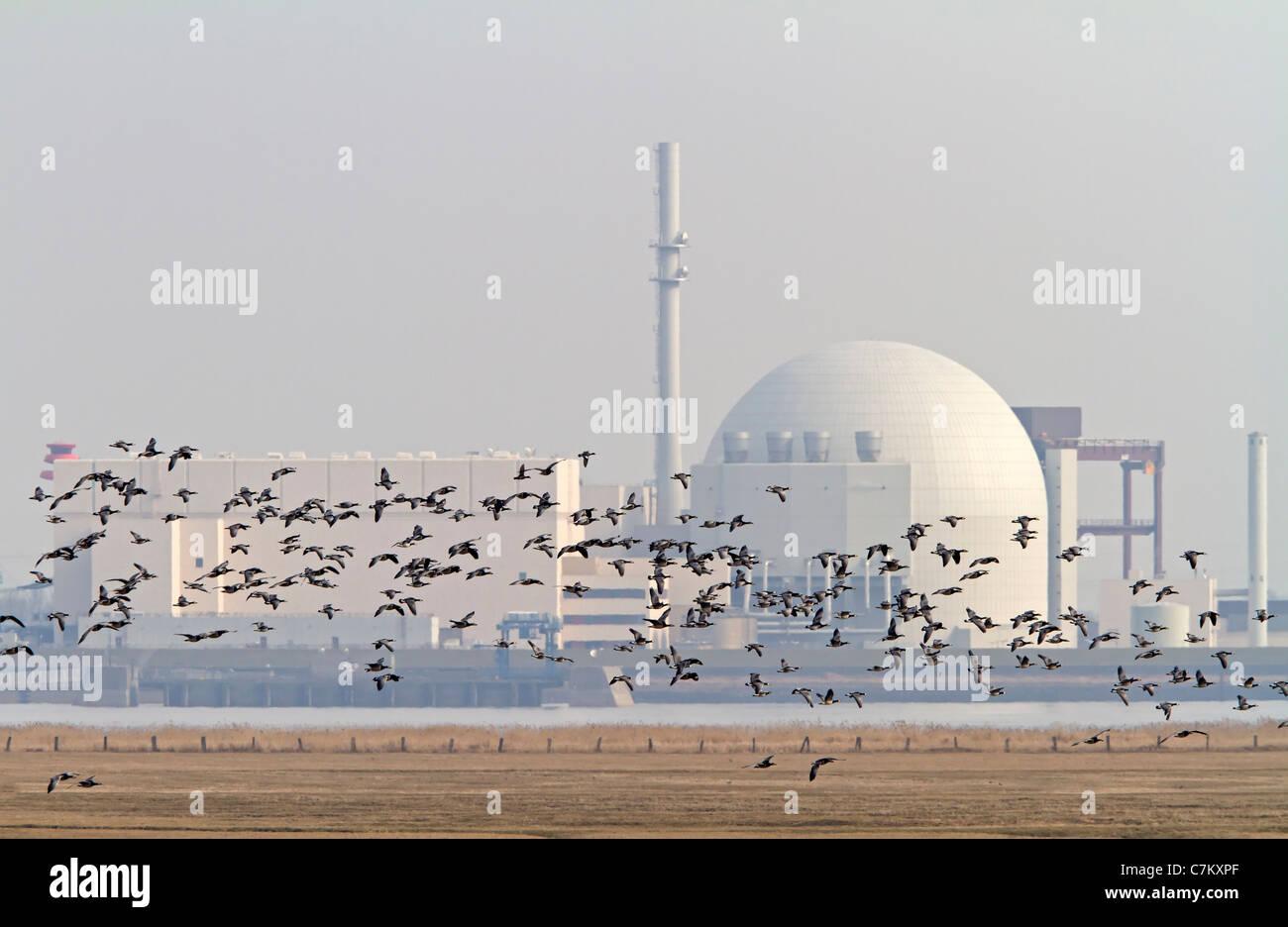 Barnacles with atomic power plant Brokdorf (Branta leucopsis) - Stock Image