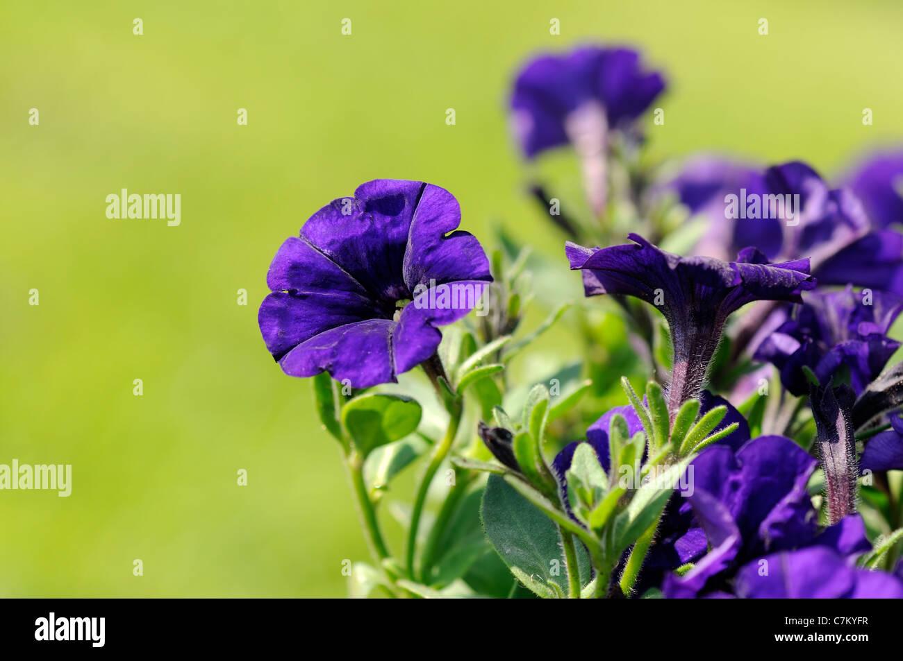 Close-up of a blue-purple colored petunias. - Stock Image