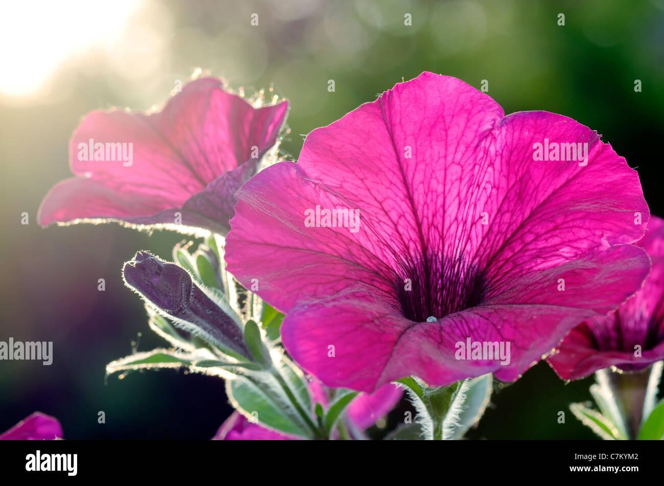 Closeup of a purple colored petunias at sunset. - Stock Image