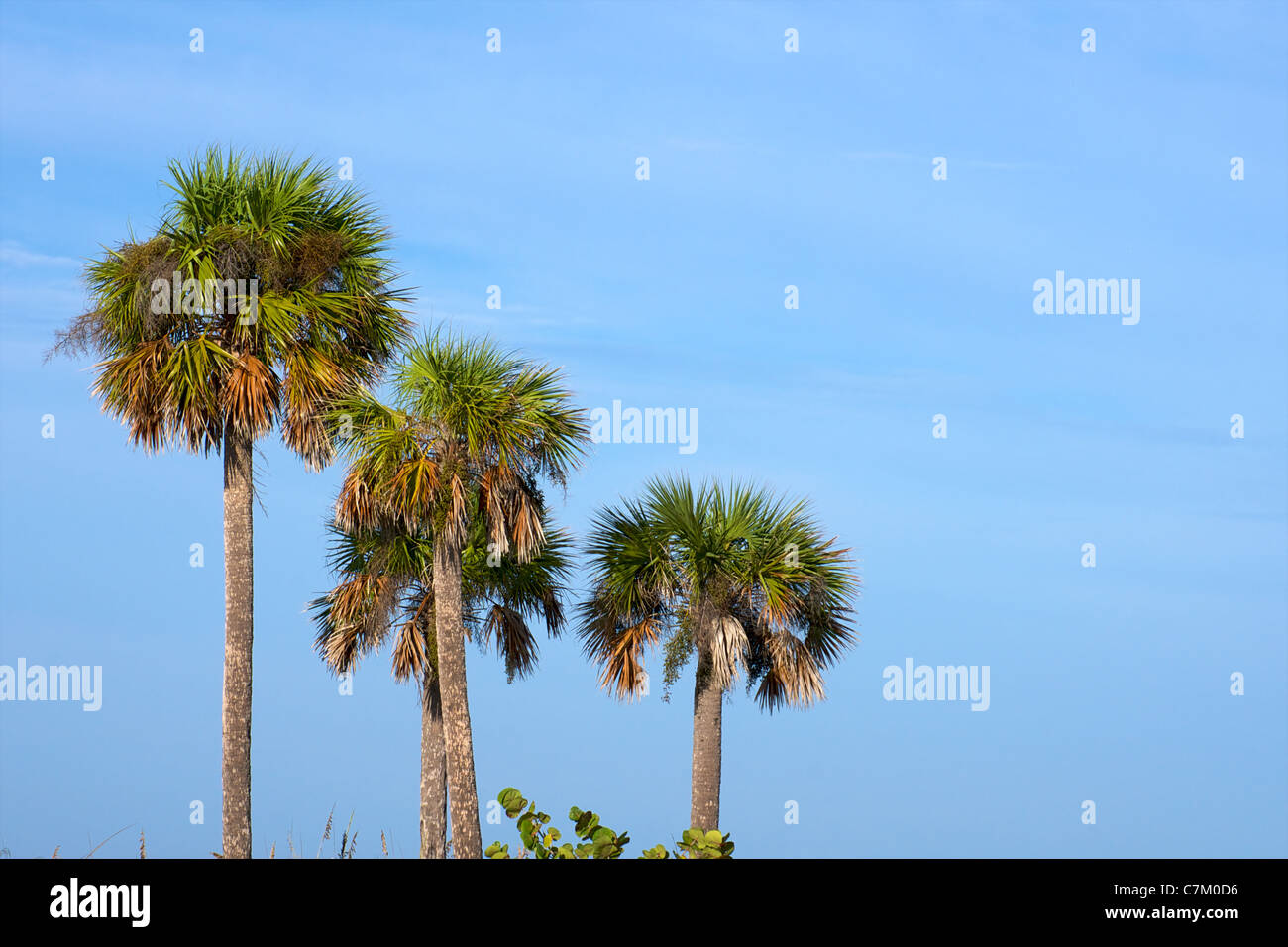 Looking Up At Tall Palm Trees In Florida With Tall Sea Grass In The