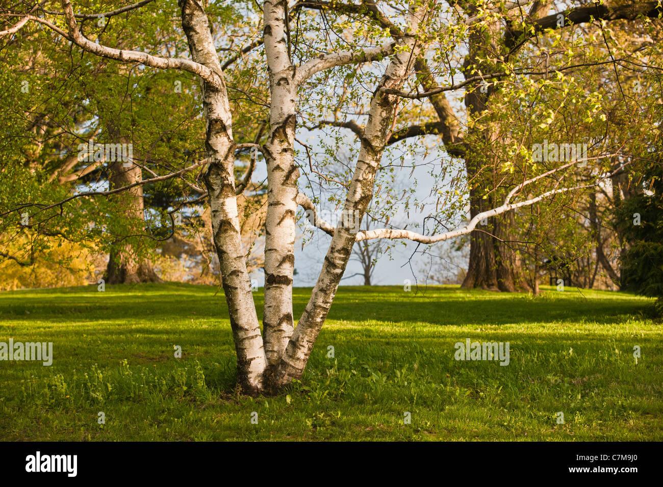 Birch tree in Arnold Arboretum, Jamaica Plain, Boston, Massachusetts, USA - Stock Image