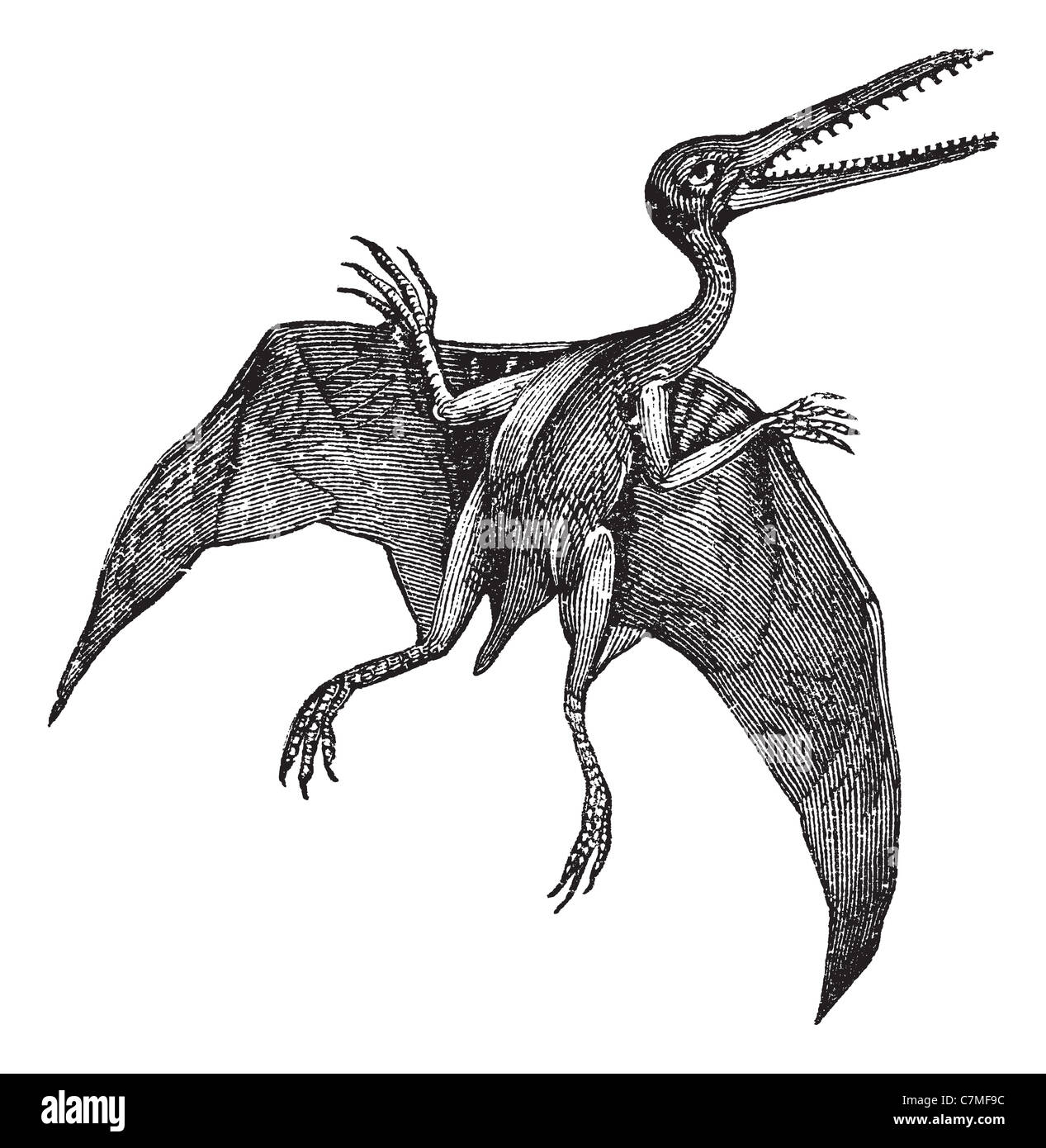 Pterodactylus vintage engraving. Old engraved illustration of Pterodactylus isolated on a white background. - Stock Image