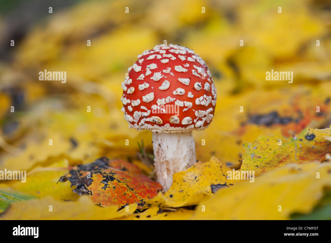 Amanita muscaria, Fly agaric mushroom growing amongst fallen golden leaves in a woodland. Stock Photo