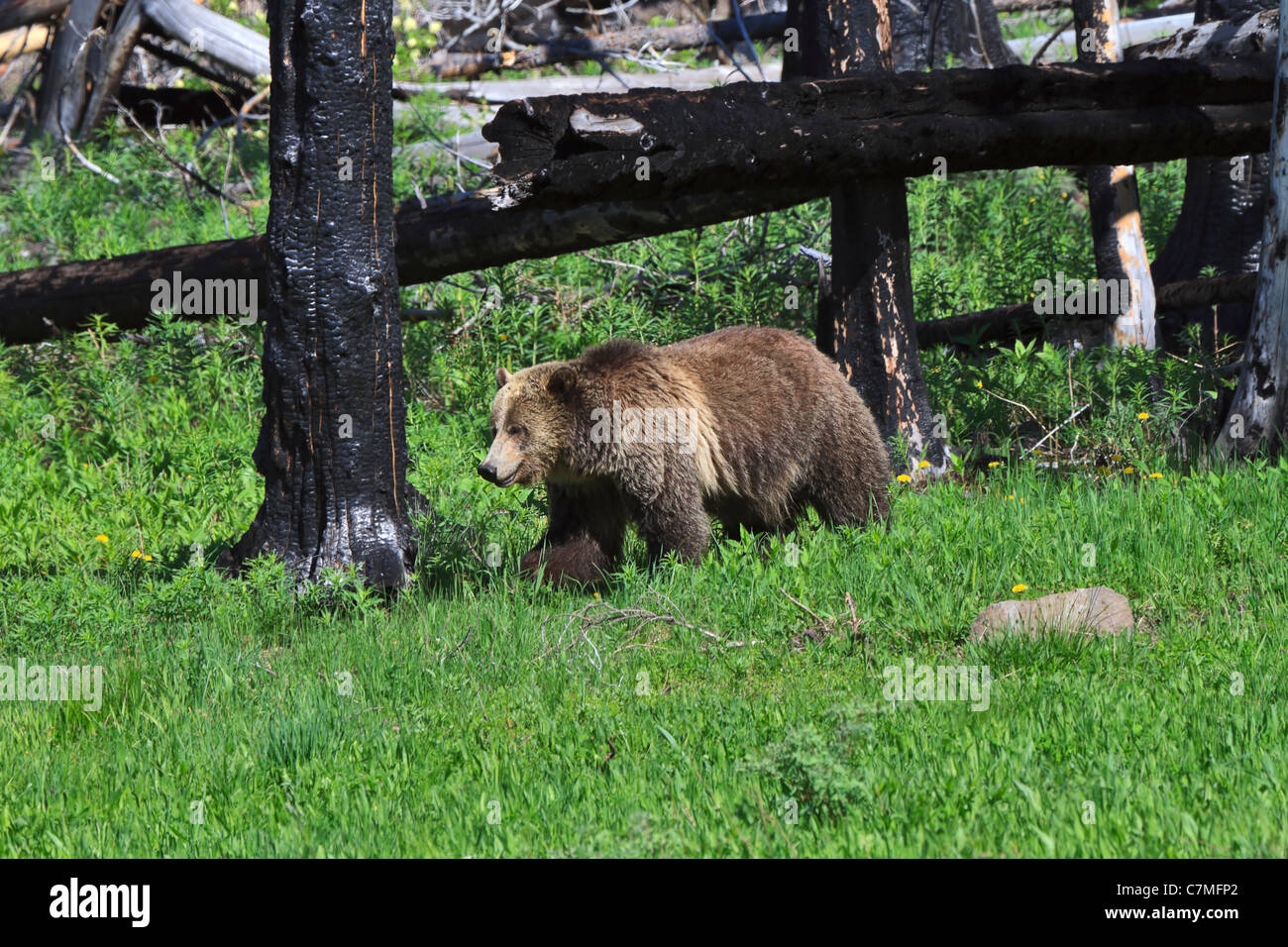 Grizzly Bear, Ursus arctos horribilis. A grizzly bear in an area of forest fire regeneration in Yellowstone NP in - Stock Image