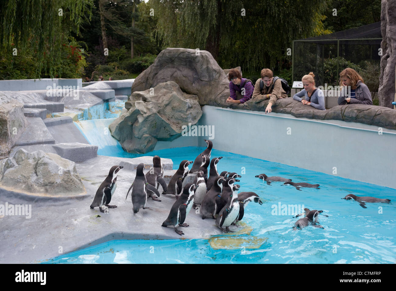 Humbolt's or Peruvian Penguins (Spheniscus humboltii). Exhibit and Enclosure design, students studying, Koln - Stock Image