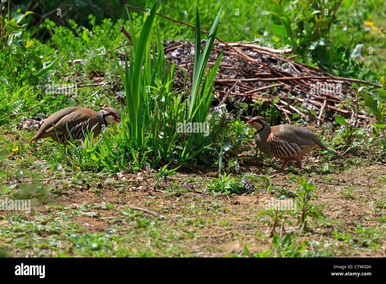 Red Legged Partridges, Alectoris rufa - Stock Image