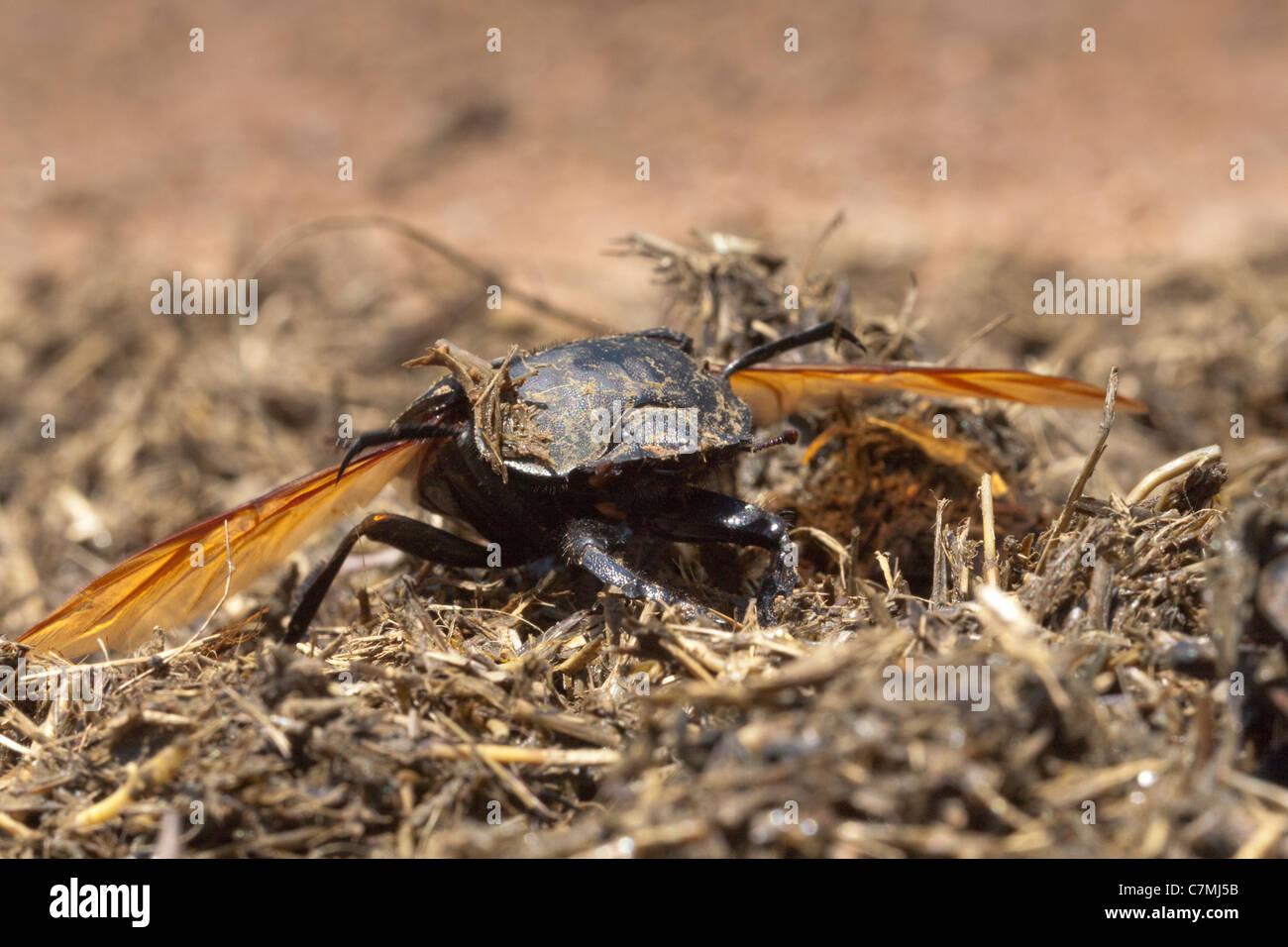 Giant Flattened Dungbeetle Lift-off (pachylomerus femoralis). - Stock Image