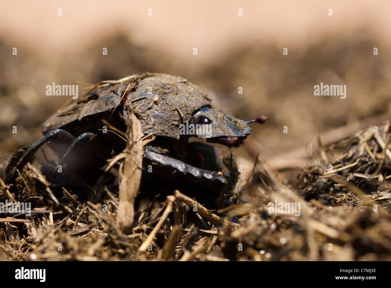 Flattened Giant Dungbeetle (pachylomerus femoralis). Ndumo Game Reserve, Kwazulu-Natal, South Africa. November 2010. - Stock Image