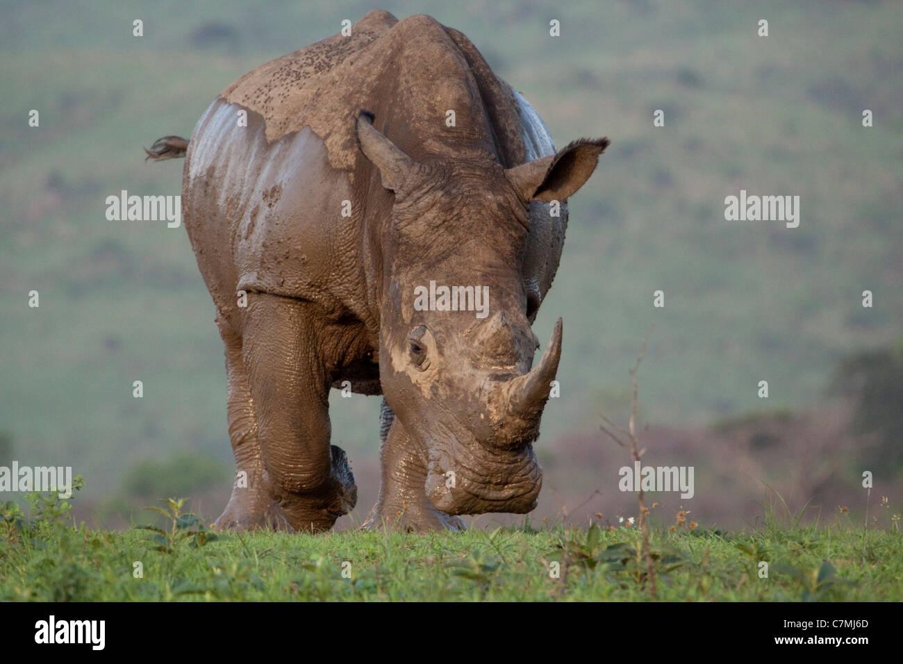 White Rhinoceros Charge (Ceratotherium simum). Hluhluwe-Imfolozi Game Reserve, Kwazulu-Natal, South Africa. November - Stock Image