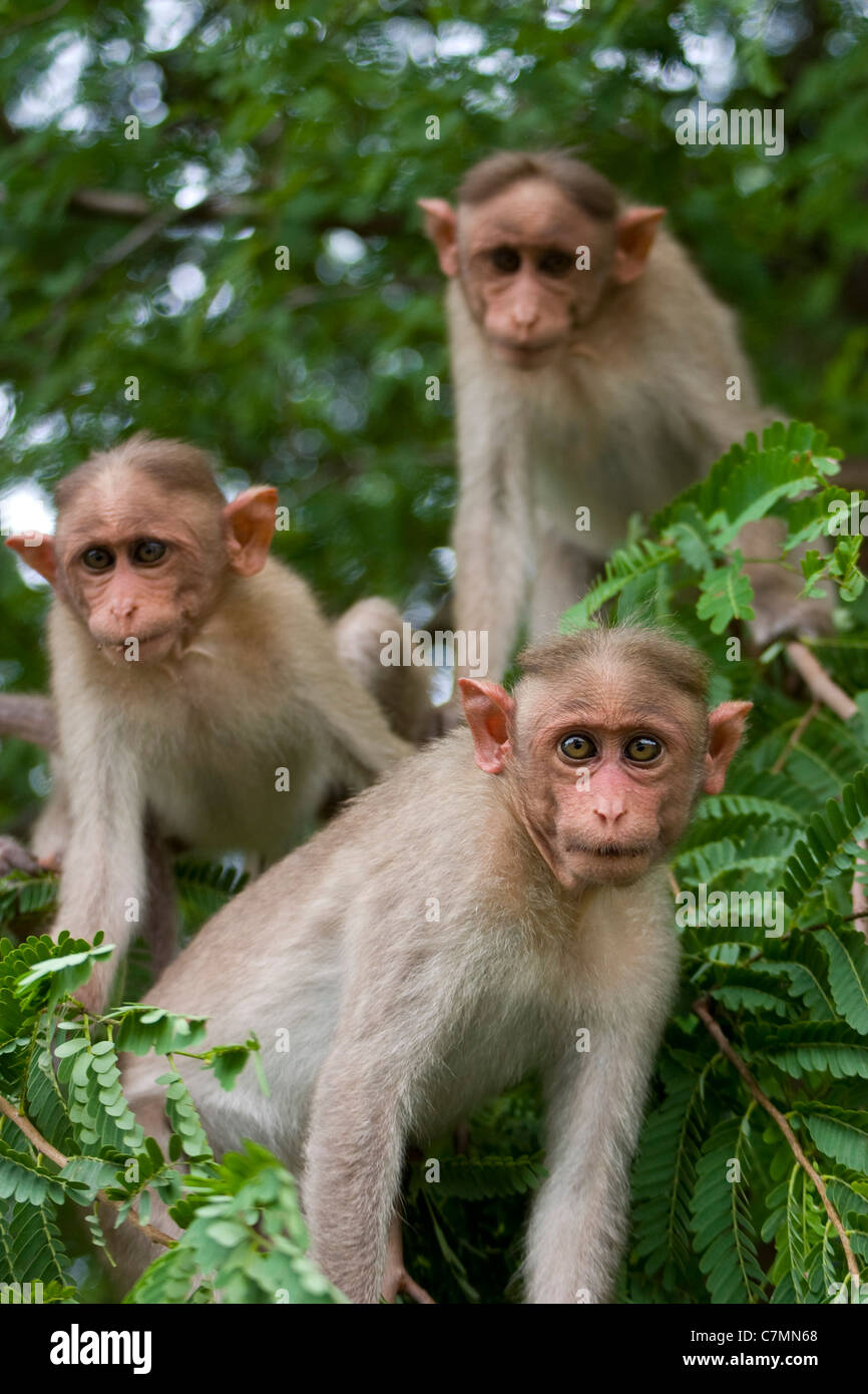 three monkeys images  Three monkeys, Bonnet Macaques (Macaca radiata) in a tree. Near ...