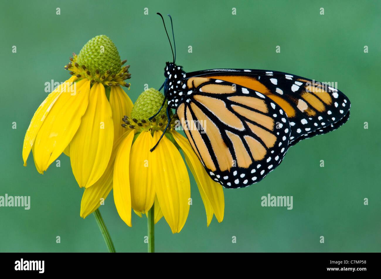 Monarch Butterfly danaus plexippus feeding nectaring pollinating Gray Conehead flower Michigan USA - Stock Image