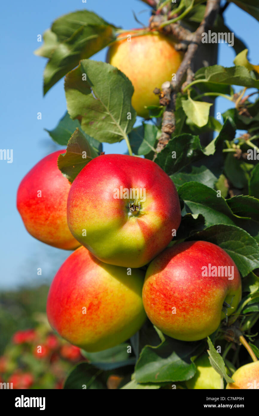 Branch with red, ripe Initial apples ready for picking at the pick-your-own orchard in Trørød near Copenhagen, - Stock Image