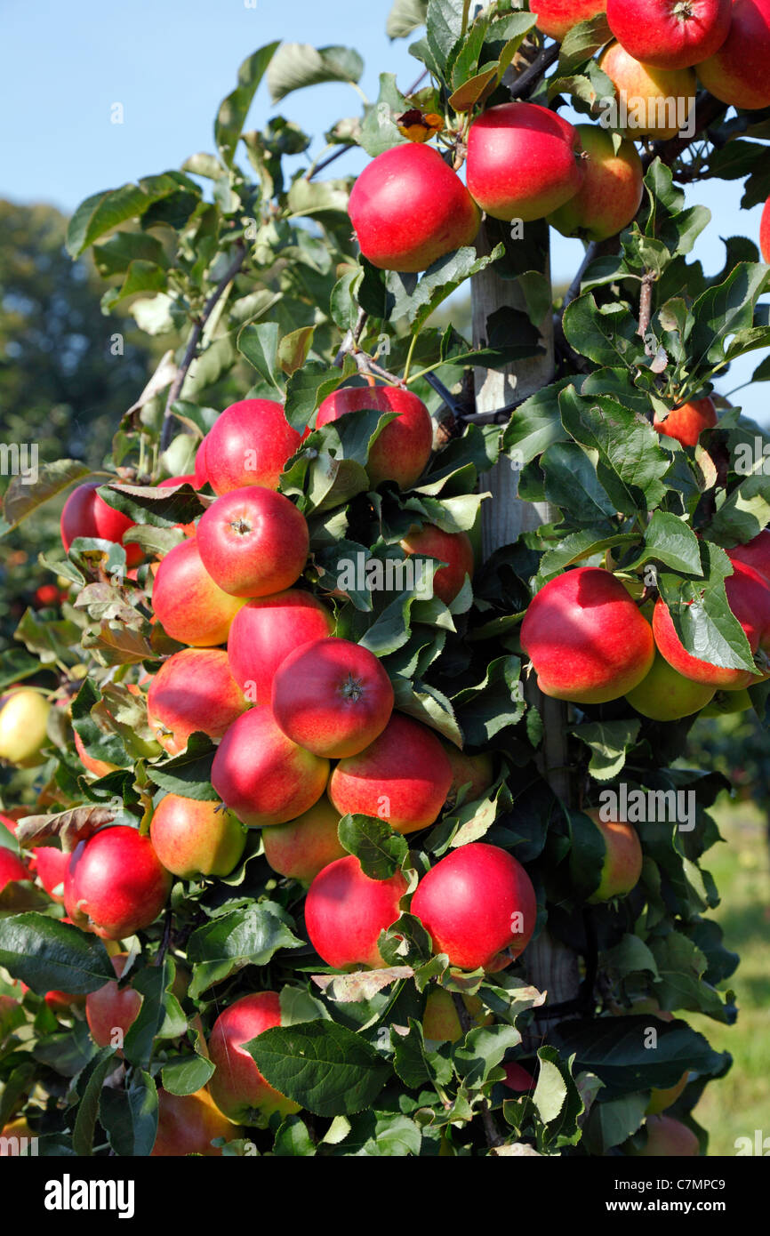 Branches with red, ripe Initial apples ready for picking at the pick-your-own orchard in Trørød near Copenhagen, - Stock Image