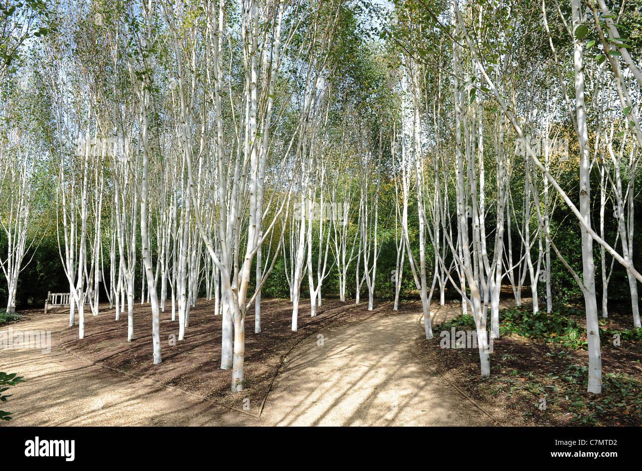 Himalayan Birch Trees Stock Photos Himalayan Birch Trees Stock