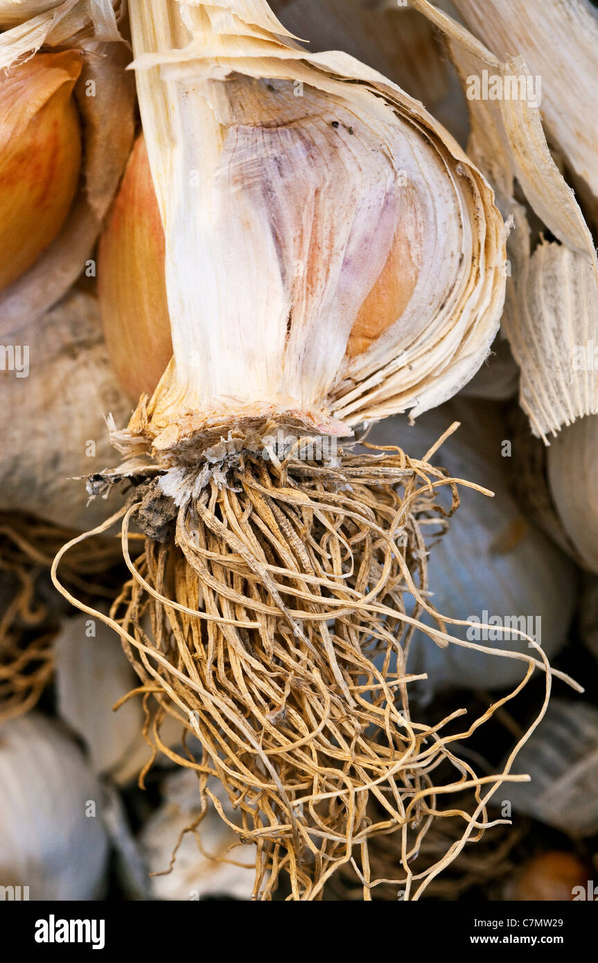 Detail of Elephant Garlic bulb - France. - Stock Image