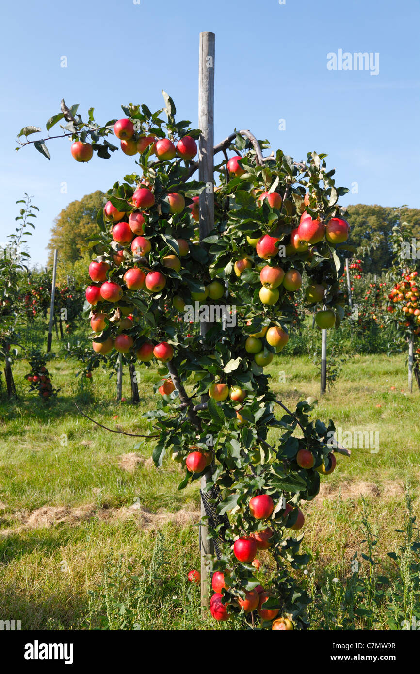 Apple tree with red, ripe Initial apples ready for picking at the pick-your-own orchard in Trørød near - Stock Image