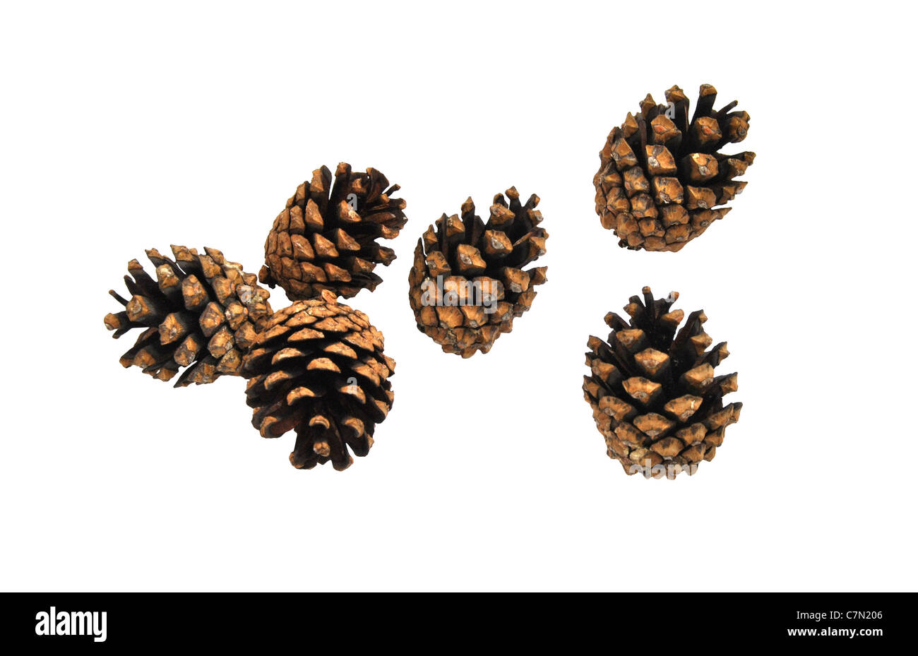 6 Pinecones isolated on white - Stock Image