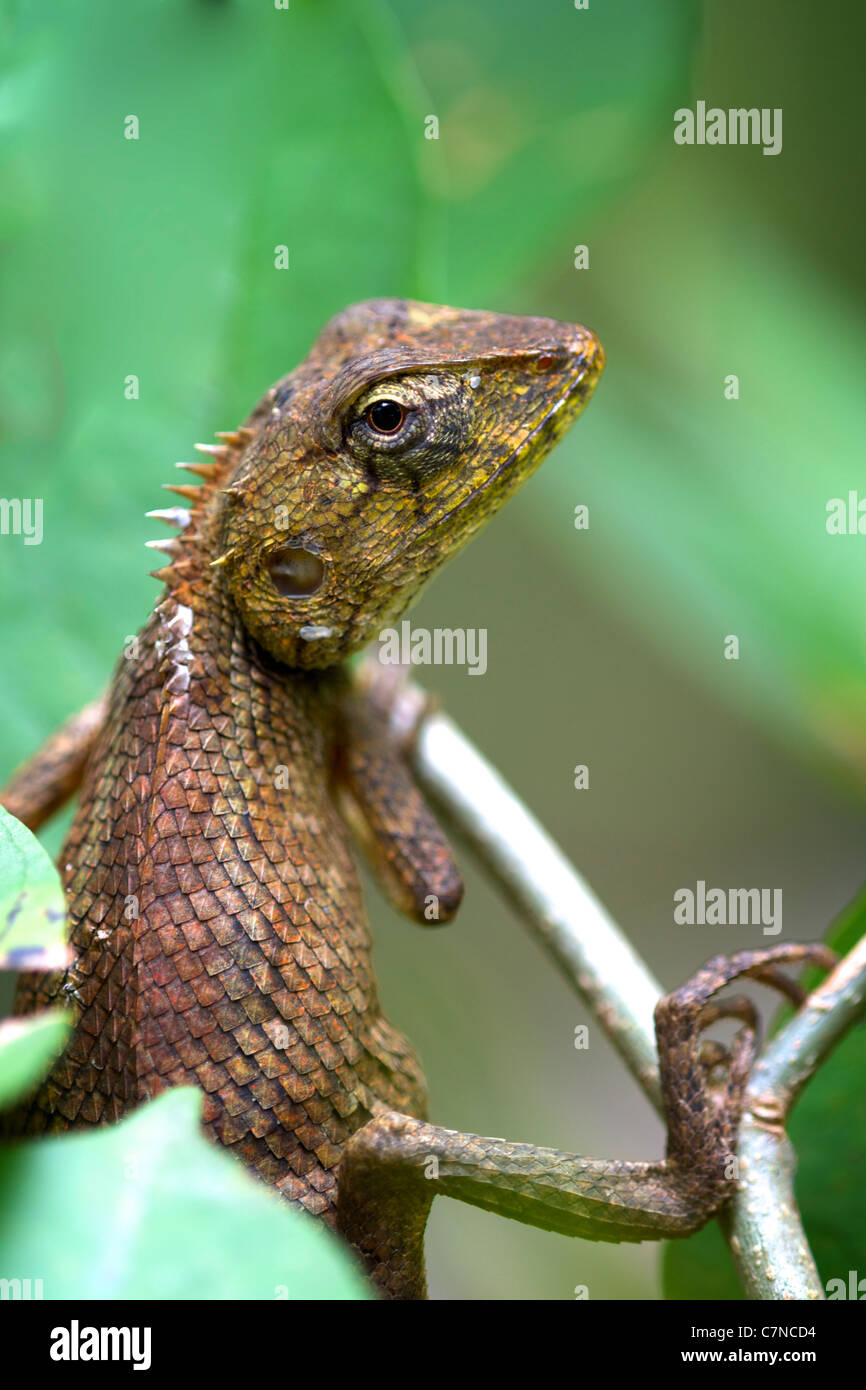 the oriental garden lizard eastern garden lizard or changeable lizard calotes versicolor - Garden Lizard