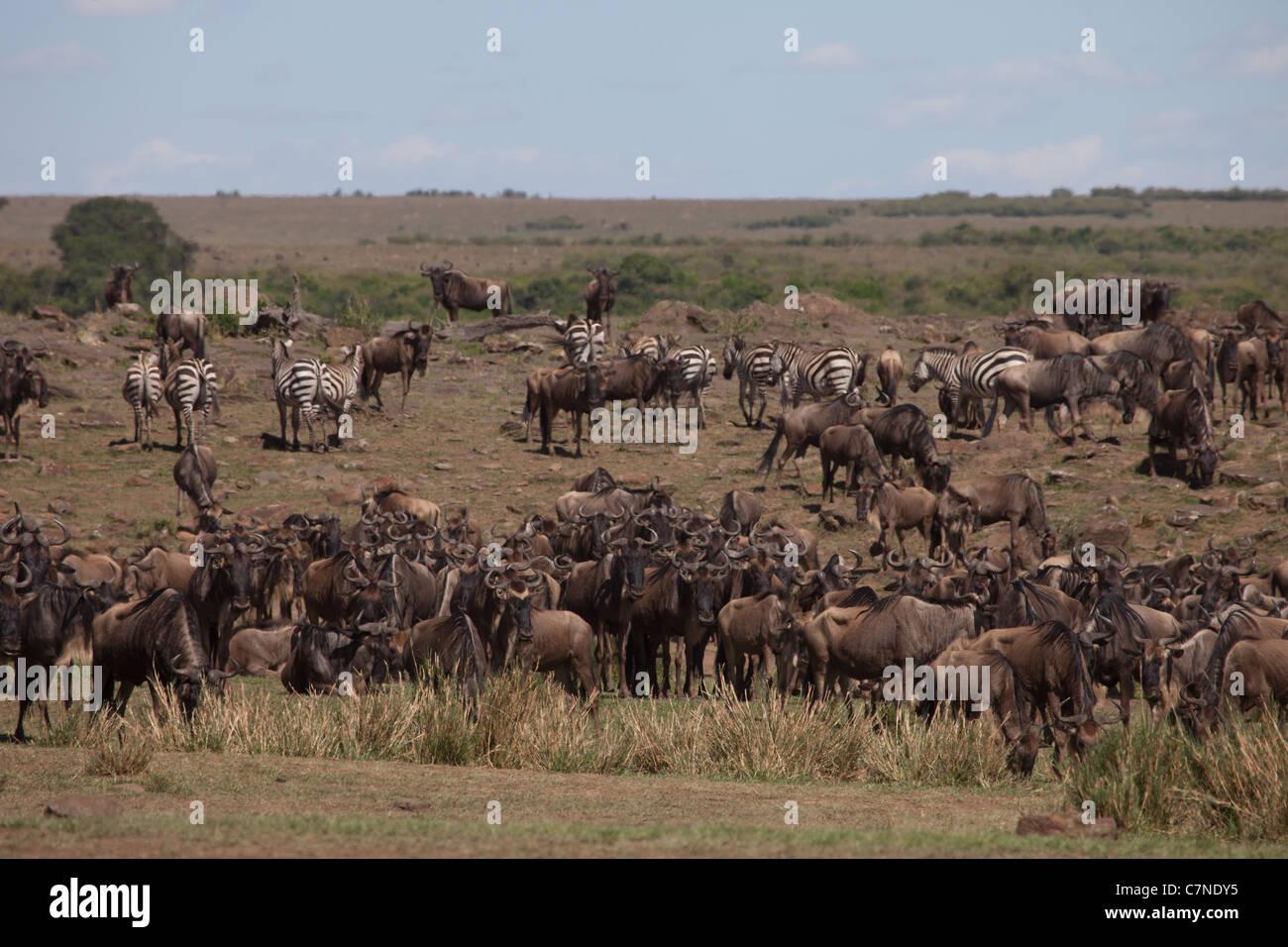 Wildebeest and Zebra before crossing the Mara River during the great migration, Masai Mara, Kenya, Africa Stock Photo