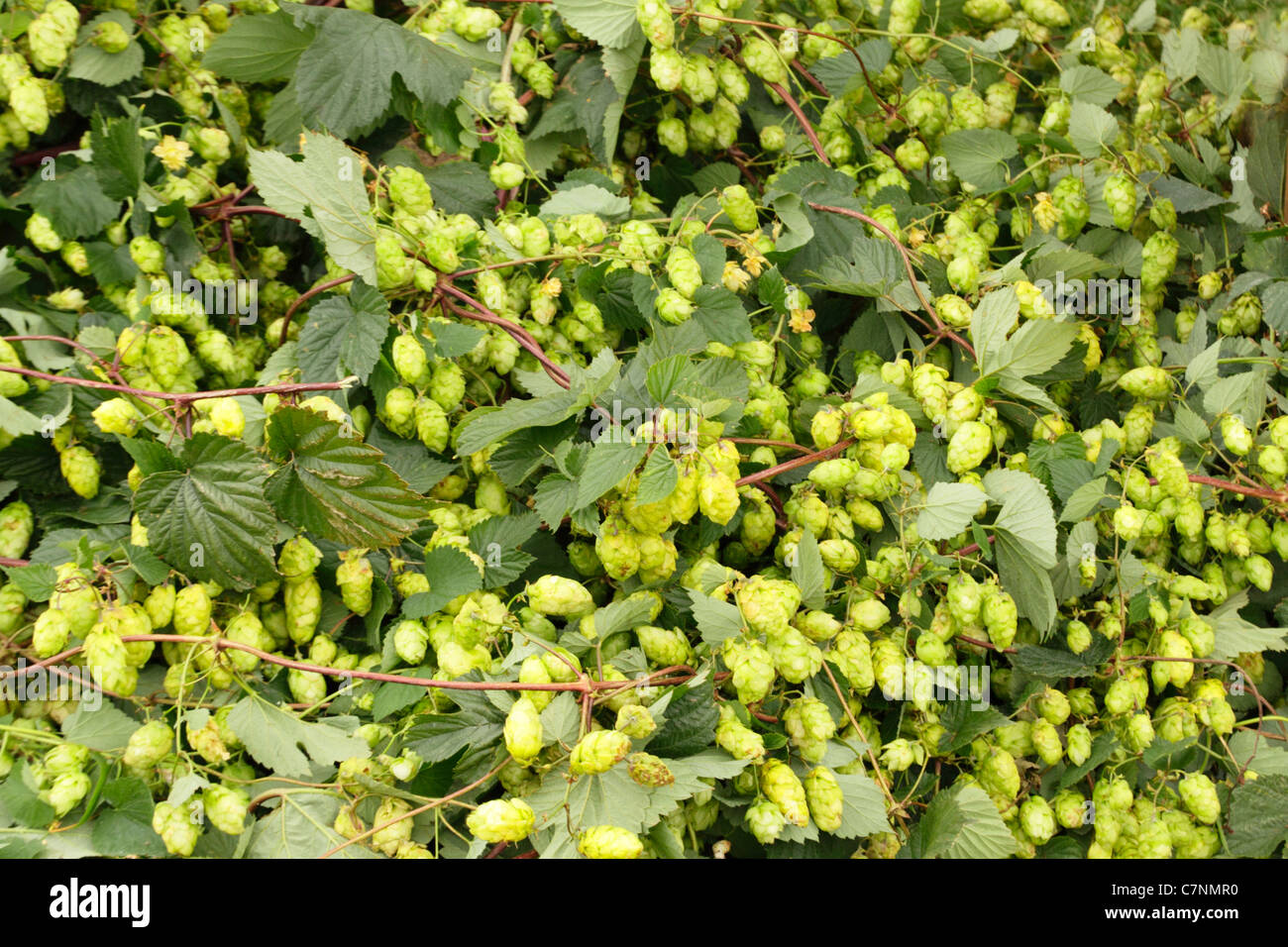 Close up of hops, humulus lupulus ,on hop bine showing climbing plant and hops ready for picking. - Stock Image