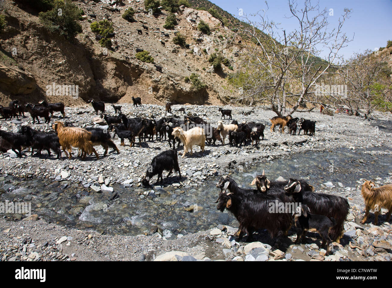 Herd of goats in the river valley - Stock Image