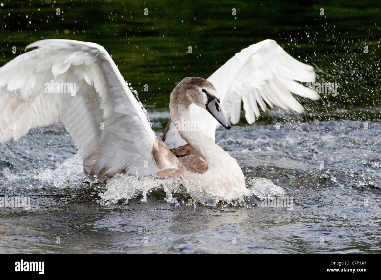 Juvenile Mute Swan Cygnus Olar 6 months old and bathing with beating wings - Stock Image