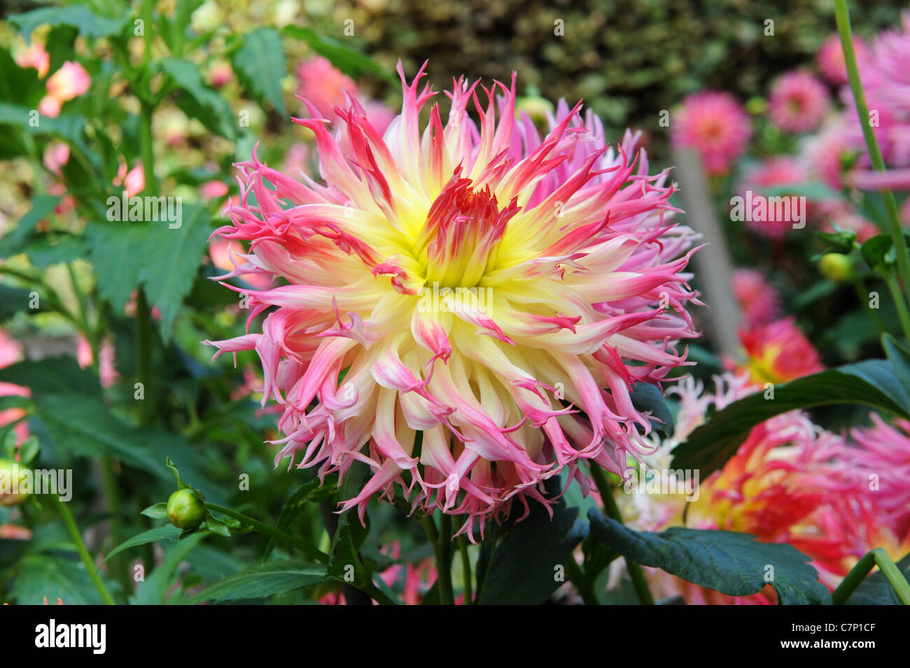 dahlia 'My Beverly' - Stock Image