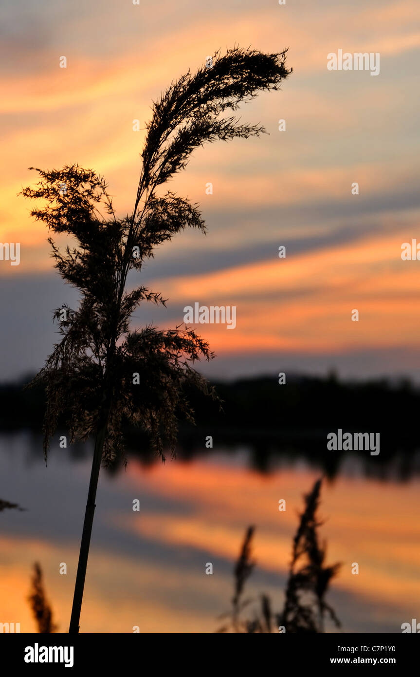 Phragmites at a sunset; cloudy sky and water reflections - Stock Image