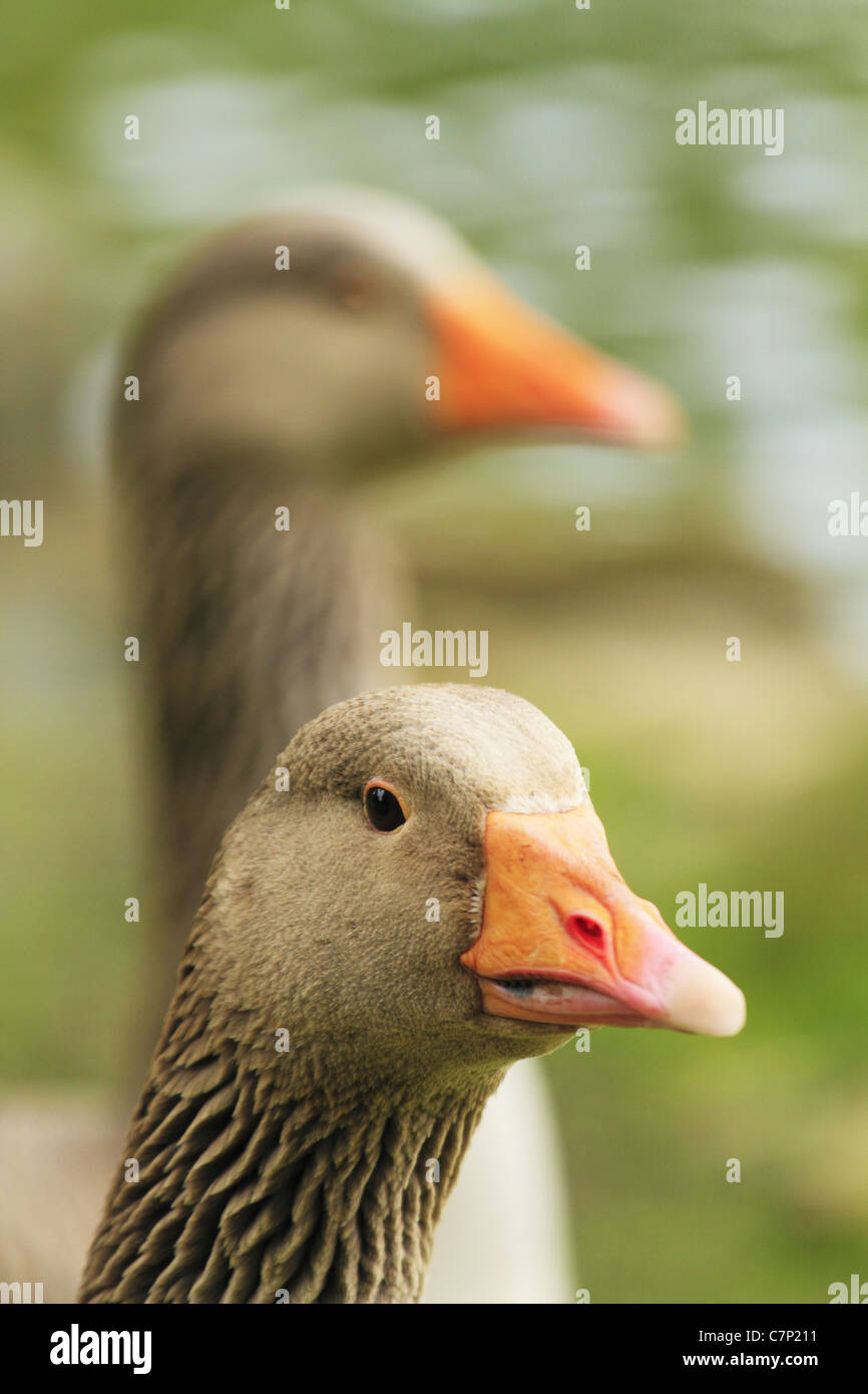 Greylag Geese (Latin name: Anser anser) Stock Photo